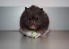 Pi (.annajane) Tags: portrait pet cute cucumber pi hamster syrianhamster mesocricetusauratus cutiepi