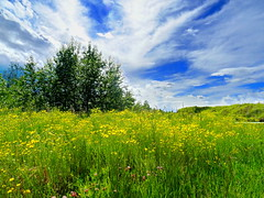 Field of wild yellow flowers on Bluebird Estates (+3) (peggyhr) Tags: trees sky canada yellow clouds alberta wildflowers peggyhr bluebirdestates level1photographyforrecreation scapes dsc07004a