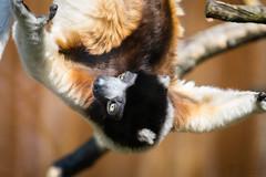funny sifaka pic (Cloudtail the Snow Leopard) Tags: kronensifaka zoo mulhouse mühlhausen tier animal mammal säugetier primat lemur crowned sifaka propithecus coronatus cloudtailthesnowleopard