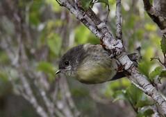 New Zealand South Island Robin (flying-leap) Tags: newzealand birds canon wildlife southisland westcoast 18200mm southislandrobin canon60d