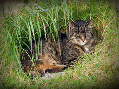 My Cindy laying in her Bower in the Sun. (BIKEPILOT) Tags: uk greatbritain sun cindy grass animal female cat feline tabby tripod surrey snooze sunbathing bower farnham threelegged 18yearsold weybourne catsprotectionleague