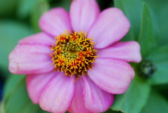 My Summer garden (Renee Rendler-Kaplan) Tags: pink summer orange plant flower macro nature june garden backyard nikon colorful blossom handheld annual bud zinnia wbez consumerist chicagoist 2016 chicagoreader nikond80 beautifulmothernature reneerendlerkaplan