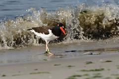 Nickerson Beach: American Oystercatcher with Seaweed (donna lynn) Tags: beach nature birds june wildlife newyorkstate nys shorebirds babybirds haematopuspalliatus 2016 nickersonbeach nikond750