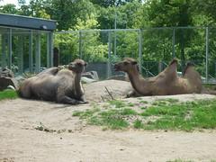Camels (Martha in Copenhagen) Tags: camels copenhagenzoo