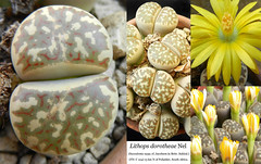 Lithops dorotheae (collage) (Succulents Love by Pasquale Ruocco (Stabiae)) Tags: lithops dorotheae aizoaceae mesembs mesembryanthema mesembryanthemum mesembryanthemaceae stabiae succulentslove succulents succulente sassifioriti southafrica succulent succulenta cactusco collage floweringstones forumcactusco pasqualeruocco piantegrasse piantagrassa