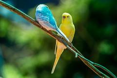 Snoozing birdies (Premal Dhruv Photography) Tags: blue usa beautiful birds animals yellow photography zoo newjersey couple day wildlife nj sunny siesta sleepingbeauty snoozing 2016 turtlebackzoo
