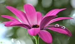 Dancing in the rain (Trayc99) Tags: flower reflection water droplets petals drops osteospermum floralart beautyinnature capedaisy flowerphotography beautyinmacro