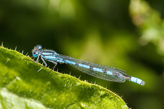 Common Blue Damselfly male (Paul Braham Photography) Tags: macro animal animals closeup insect fly insects flies creatures