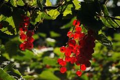 Rote Johannisbeeren (Ribes rubrum); Bergenhusen, Stapelholm (5) (Chironius) Tags: stapelholm bergenhusen schleswigholstein deutschland germany allemagne alemania germania    ogie pomie szlezwigholsztyn niemcy pomienie frucht fruit frutta owoc fruta  frukt meyve    buah rot saxifragales steinbrechartige grossulariaceae stachelbeergewchse ribes