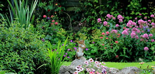 Squirrel- a garden visitor