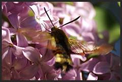Moro sphinx IMGP6061 (robert.fr.22) Tags: flowers fleurs flore lilas morosphinx leflamb macroglossumstelletarum