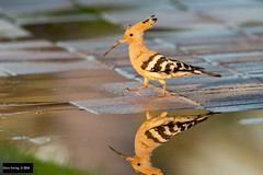 Eurasian Hoopoe (Upupa epops) (Dave 2x) Tags: upupaepops upupa epops eurasianhoopoe eurasian hoopoe dubai uae leastconcern reflect reflection morning sunrise earlymorning light warmlight mirror