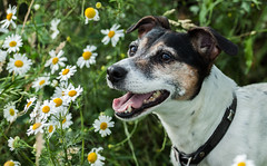 // Piwi \\ (Janne Fairy) Tags: dog dogs imgrnen hund hunde tier pet animal drausen outdoor flowers blumen halsband jack russel jackrussel canon canon500d eos500d