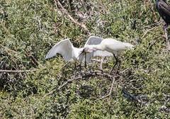 Spoonbill, Lepelaar, Platalea leucorodia. (jwsteffelaar) Tags: platalealeucorodia spoonbill lepelaar