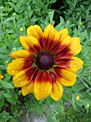 Wet and colourful Rhudbeckia (clickclique) Tags: red summer brown flower nature yellow garden colorful outdoor colourful perennial naturescarousel