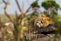 Snoozer (charles lovely) Tags: africa charleslovely simba kenya wildlife travel nature gamedrive fuana pride safari maasaimaranationalreserve lion fullmane