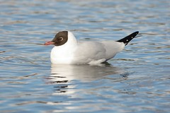 Black Headed Gull. (stonefaction) Tags: black nature birds scotland dundee wildlife gull ponds headed swannie