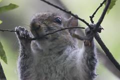 (DFChurch) Tags: wild nature animal mammal squirrel close florida