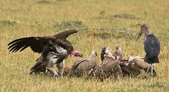 Anatomy lesson? (Jambo53 (catching up)) Tags: bird nature dinner kenya wildlife natuur safari vultures savannah impressive vogel conservancy masaimara aas eastafrica nikkor70300 aasgieren robertkok mariboo nikond800 jambo53 lappedfacevulture