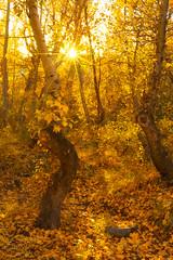 The Elder Grove (Sairam Sundaresan) Tags: california autumn sunset color colour fall nature colors canon fallcolors dramatic 5d canon5d sierras eastern bishop easternsierras sunstar sairam sundaresan canon5dmarkiii 5dmarkiii sairamsundaresan