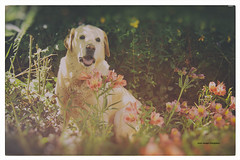 semi_vintage 3 (Oscar Vanegas / Photography) Tags: vintage labrador perro mascota