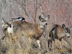 March 7, 2015 - A magpie picks at a deer's rear. (Ed Dalton)