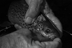 Yes, I Like Black and White (Shooting Ben) Tags: blackandwhite fish river fly fishing holding hands release australia victoria catch trout casting flycasting mitta