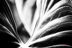 Par monts et vallées (Yasur.sur.Flickr) Tags: bw plant monochrome plante leaf waves noiretblanc details highcontrast vagues feuille jardinbotaniquedemontréal détails vshape contrasteélevé