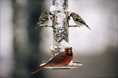 2 Goldfinches and a Cardinal (G-2ME) Tags: winter red snow birds cardinal feeder avian goldfinches gregorydtoumey