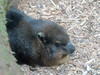 Rock Hyrax (1) (bookworm1225) Tags: zoo october 2014 minnesotazoo northerntrail tropicstrail