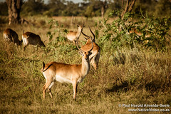 Male Impala In The Okavango Delta, Botswana