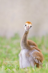 Earmuffs (Flickrtographer) Tags: wild bird nature birds animals backyard raw crane wildlife birding chick earmuffs colt sandhillcrane hatchling muffs babybirds babyanimals wildlifephotography orangefur backyardbirding sigma150500mm sandhillcranecolt nikond7000 photocontesttnc11 birdstnc11 cindybryantphotography photocontesttnc12 photoofthedaynwf12 cindyjbryant