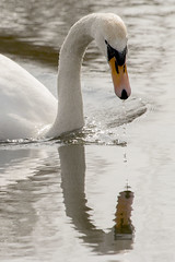 Swan Reflection 13/03/15 (johnatkins2008) Tags: birds riverside feeding lakeside swans waterside muteswans ferrymeadows neneparktrust johnatkins2008