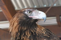 the Wedge-tailed eagle. (misty1925) Tags: eagle outback northernterritory alicesprings wedgetaileagle