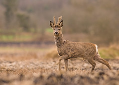 Roe Deer buck (Wouter's Wildlife Photography) Tags: male nature mammal wildlife velvet buck roedeer alert billund antler rådyr capreoluscapreolus