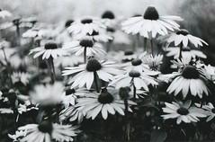 Blumen (Turikan) Tags: flowers blumen 100 zenit et helios caffenol fomapan 44m6