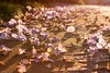 af1503_6338 (Adriana Füchter ... thank you for 5 Million Views) Tags: flowers autumn flores macro love nature amor natureza flor chao outono calçada lilas estacao tumbergia adrianafüchter