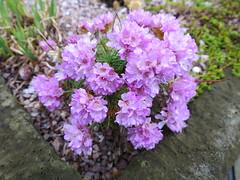 Armeria juniperifolia 'Bevan's Variety'