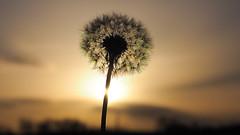 La beaut classique (drstar.) Tags: sunset sunlight beauty flickr dandelion goldenhours flickrturkey