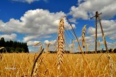 Anglų lietuvių žodynas. Žodis food grain reiškia maisto grūdų lietuviškai.