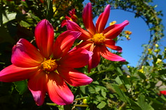 Dahlia (dgardenia) Tags: dahlia dog pet macro home garden seeds mums mum frangipani geranium chrysanthemum seedling dahlias alyssum snapdragon diascia nemesia duranta geishagirl durantarepens