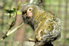 Bb ouistiti pygme (Passion Animaux & Photos) Tags: zoo cub bebe marmoset pygmy pygmee amneville ouistiti