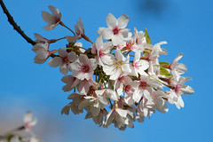 Kersenbloesem (zsnajorrah) Tags: flowers nature netherlands explore amsterdamsebos amstelveen ef70200mmf4lis eos600d kersenbloesempark