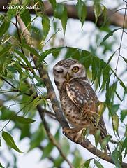 Spotted-Owlet (sahudeepak) Tags: bird nature birds animals wildlife raptor owl wink birdwatching birdofprey birdwatcher bhubaneswar owlet birdphotography spottedowlet athenebrama indianbirds odisha birdsoforissa