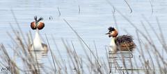 Alberca de Loreto. Huesca. Marzo 2016_1 (MSB.Photography) Tags: bird nature spain nikon huesca zoom p900 coolpix animales pjaro somormujo albercadeloreto aveacutica