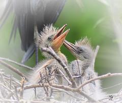 little blue heron chicks (tennie2) Tags: lowryzoo topazdenoise topazdetail topaztextureeffects