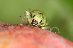 Stuck....and... (Tam & Sam [Thank you for 400,000 + views]) Tags: macro green closeup insect spring nikon stuck sticky may toothpick rhododendron weevil 2016 unstuck