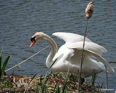 Even de pootjes strekken, nog geen jonge zwaantjes (ditmaliepaard) Tags: nest sony a600 zwaan omgevingheusden