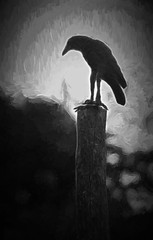 Crow on the lookout (FotoGrazio) Tags: blackandwhite painterly bird art texture nature animal composition contrast painting photography photoshoot wildlife fineart highcontrast lookout crow moment photographicart minimalism capture raven digitalphotography topaz sentry phototopainting phototoart sandiegophotographer artofphotography flickrelite californiaphotographer internationalphotographers worldphotographer photographersinsandiego fotograzio photographersincalifornia waynegrazio waynesgrazio