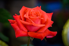 Arkadia - (explored) Flickr Explore – May,29,2016 (Jack o' Lantern) Tags: roses rose masterphotos saariysqualitypictures itsallaboutflowers rosearkadia